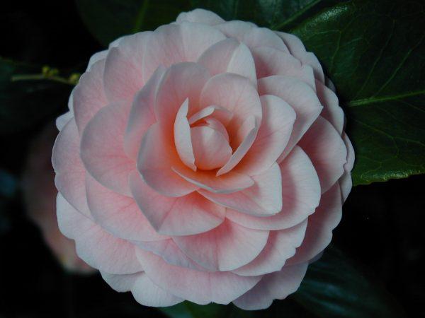 Camellia Garden Design