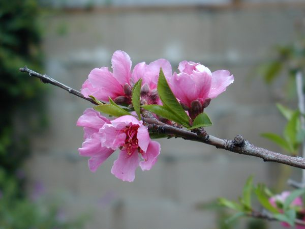 Peach tree flower Peach Tree Flowers